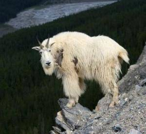 goat on ledge