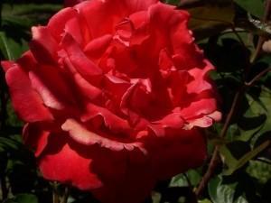 Scorpio Rose