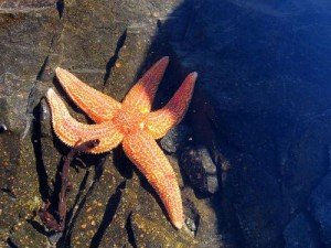 starfish on rock