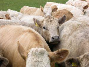 cattle-herded