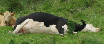 cow lying on side