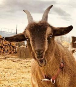 saturn goat