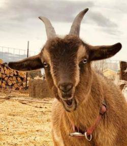 Capricorn brown goat