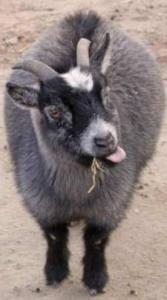 Capricorn black goat