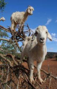white goats capricorn