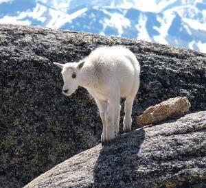 capricorn mountain goat