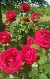 roses 2021
